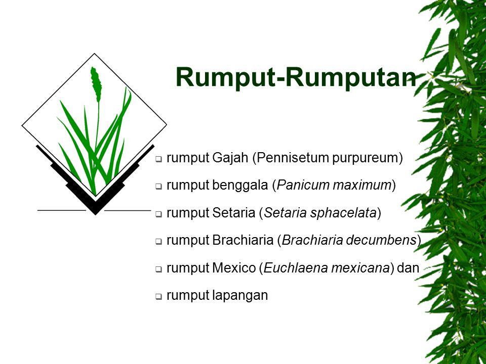 Rumput-Rumputan rumput Gajah (Pennisetum purpureum)