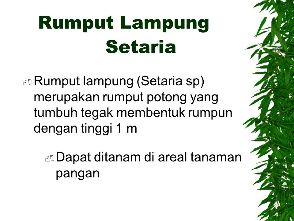 Rumput Lampung Setaria