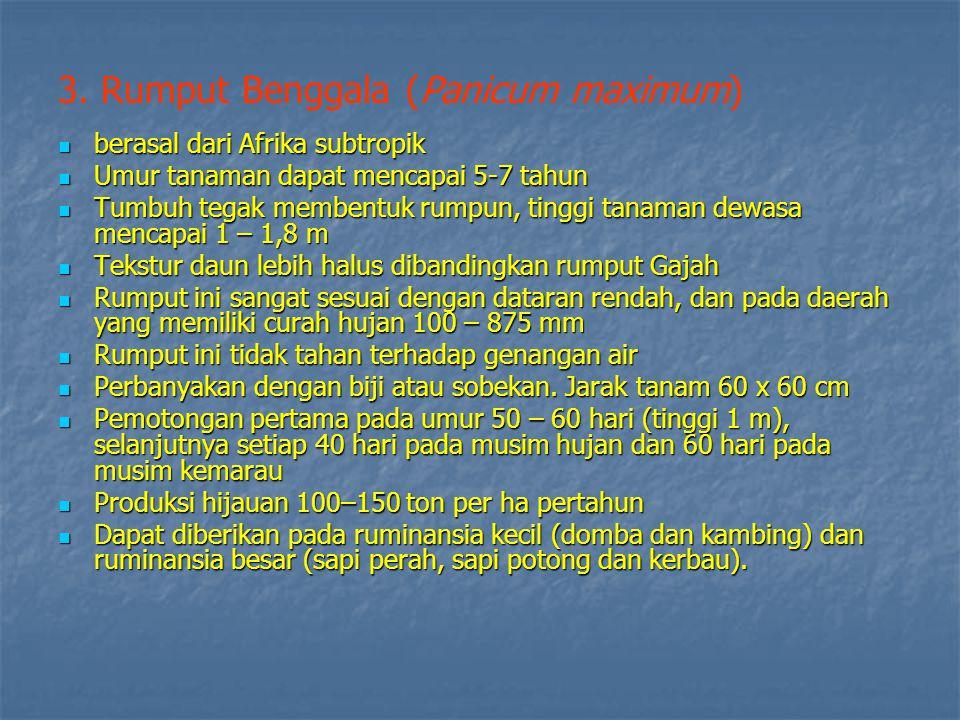 3. Rumput Benggala (Panicum maximum)