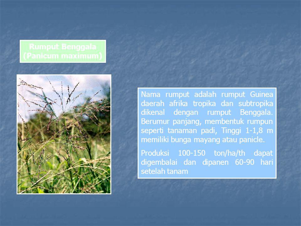 Rumput Benggala (Panicum maximum)