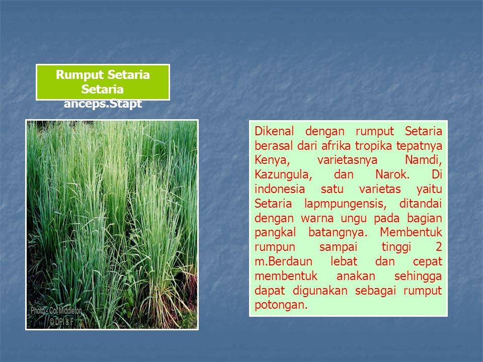 Rumput Setaria Setaria anceps.Stapt