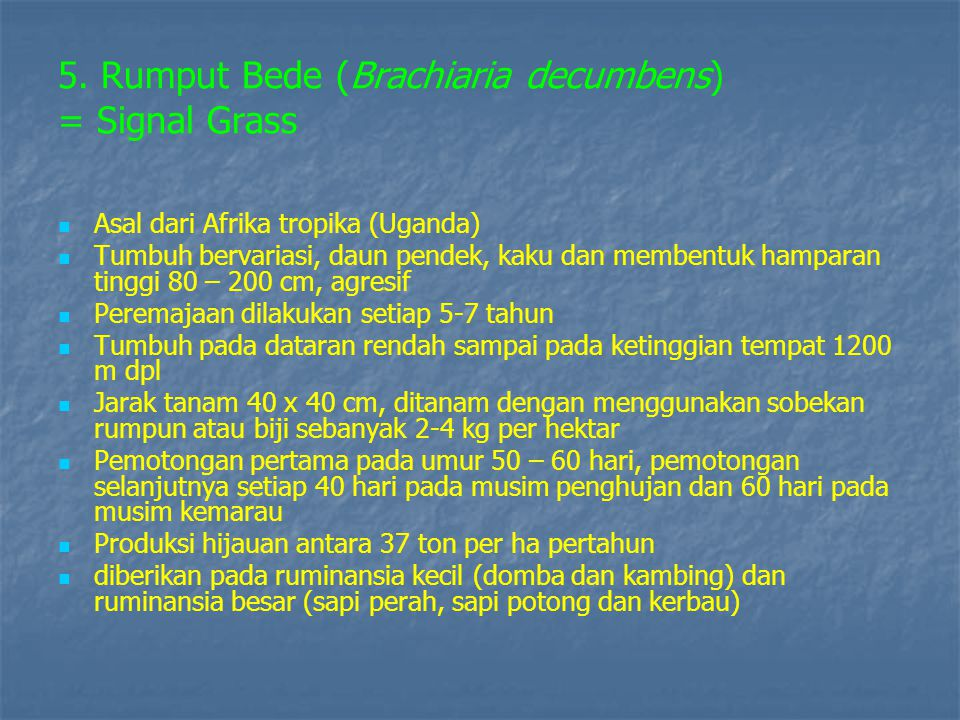 5. Rumput Bede (Brachiaria decumbens) = Signal Grass