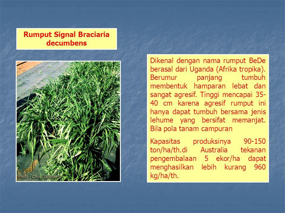 Rumput Signal Braciaria decumbens