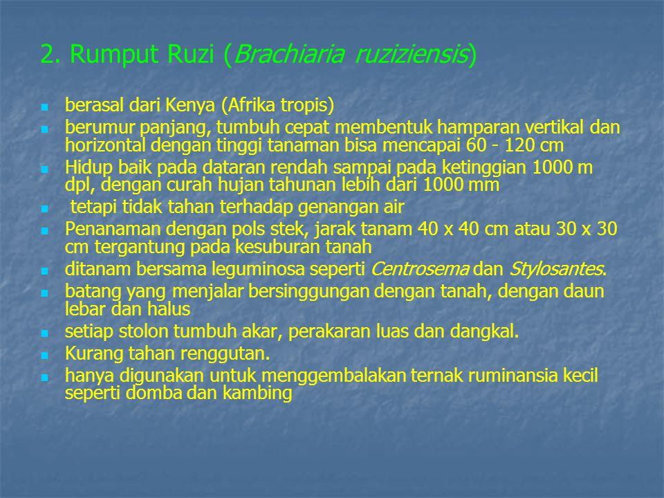 2. Rumput Ruzi (Brachiaria ruziziensis)