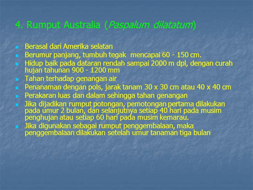 4. Rumput Australia (Paspalum dilatatum)