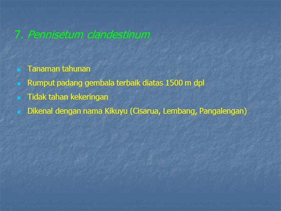 7. Pennisetum clandestinum