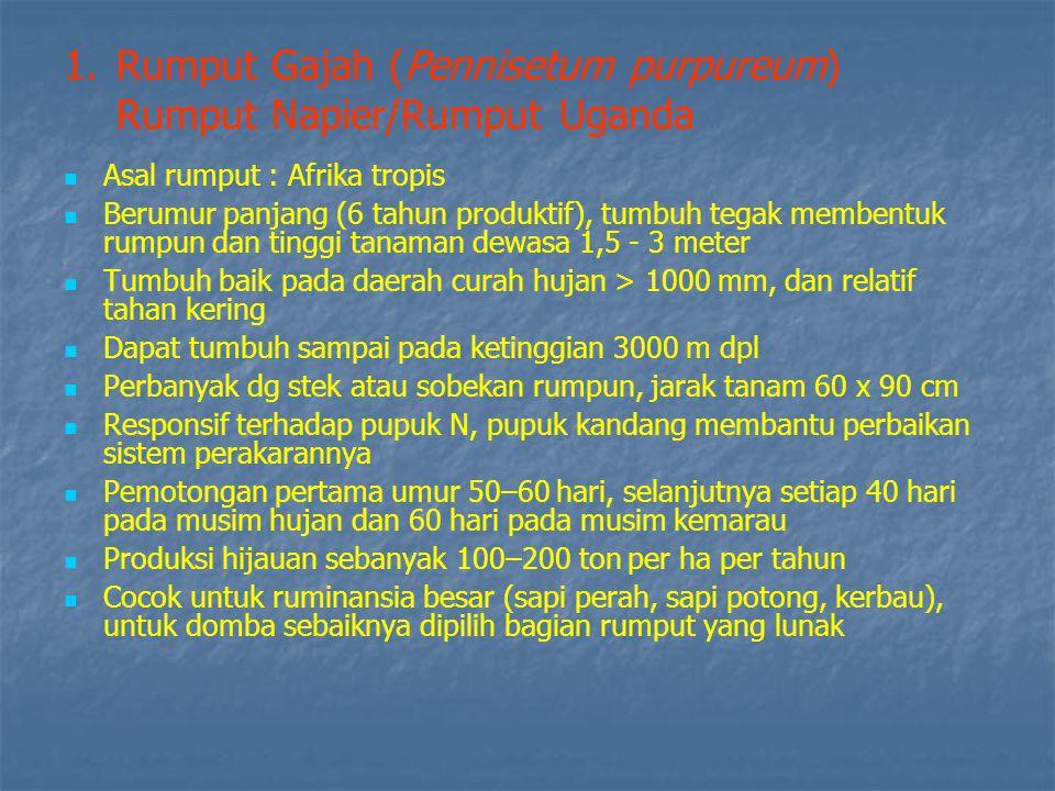 Rumput Gajah (Pennisetum purpureum) Rumput Napier/Rumput Uganda