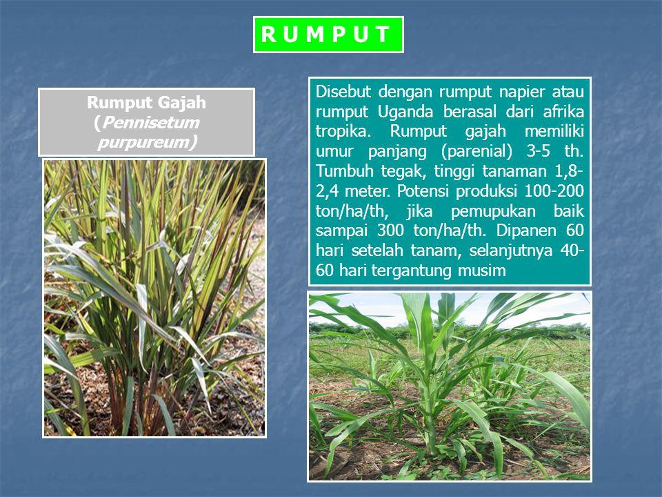 Rumput Gajah (Pennisetum purpureum)