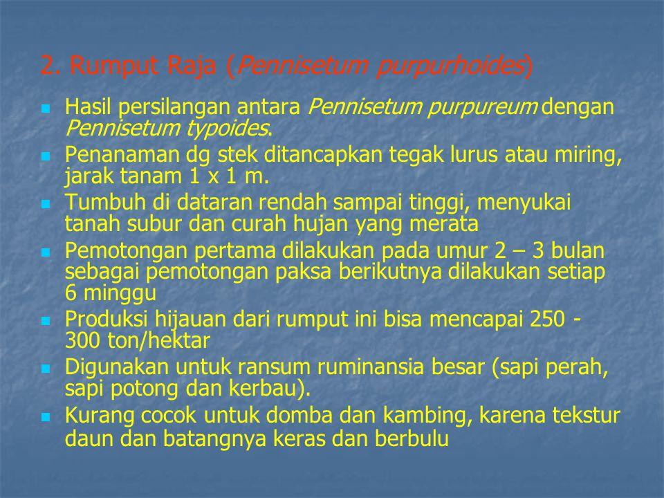 2. Rumput Raja (Pennisetum purpurhoides)