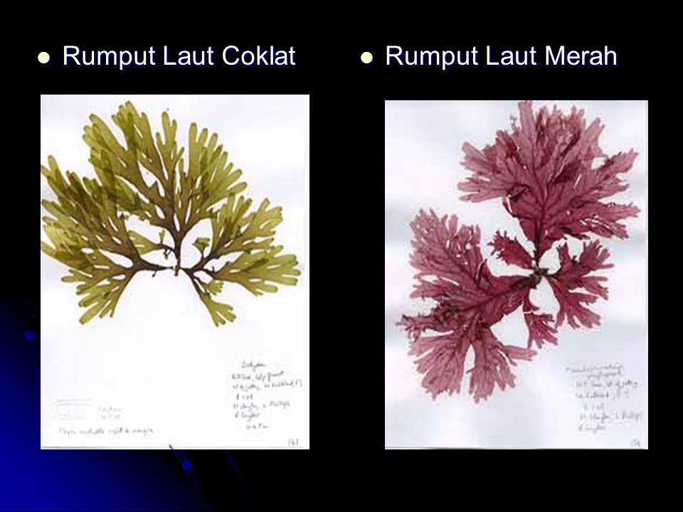 Rumput Laut Coklat Rumput Laut Merah