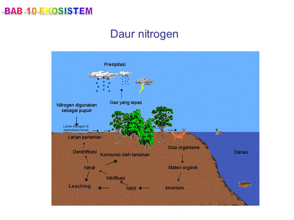 BAB 10 EKOSISTEM Daur nitrogen