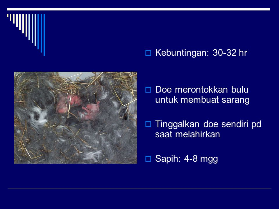 Kebuntingan: 30-32 hr Doe merontokkan bulu untuk membuat sarang. Tinggalkan doe sendiri pd saat melahirkan.
