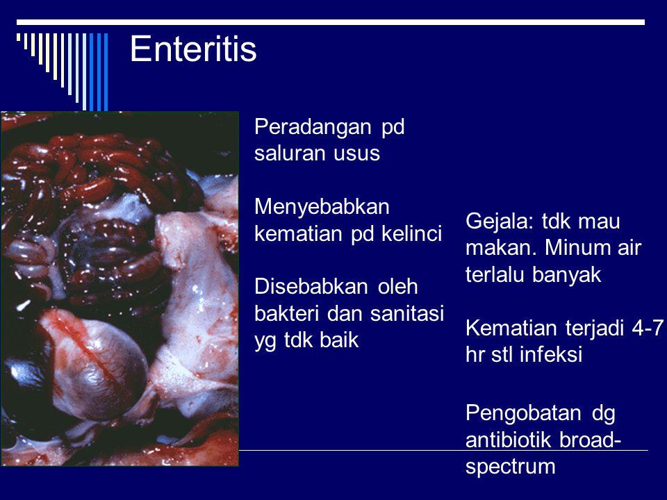 Enteritis Peradangan pd saluran usus Menyebabkan kematian pd kelinci Disebabkan oleh bakteri dan sanitasi yg tdk baik.