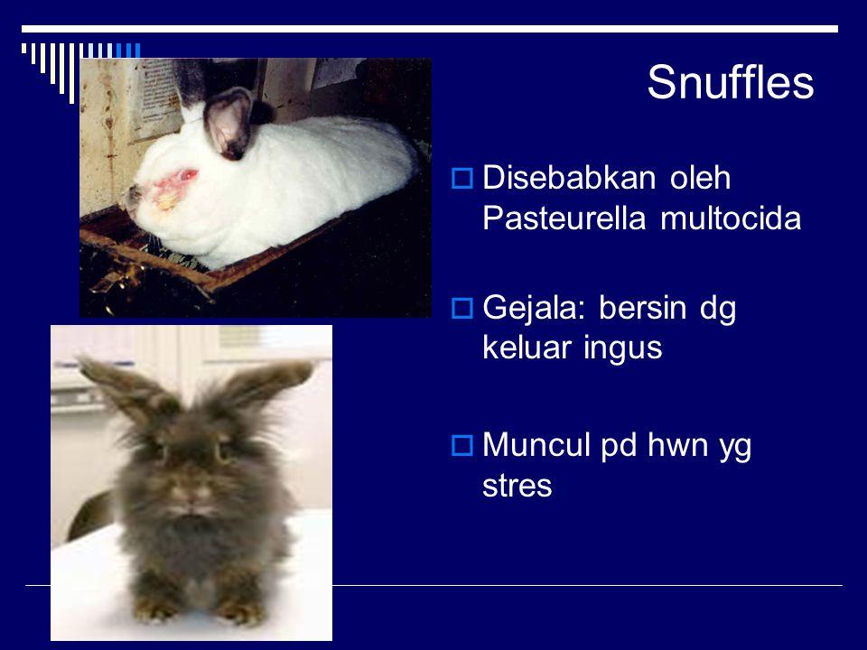 Snuffles Disebabkan oleh Pasteurella multocida