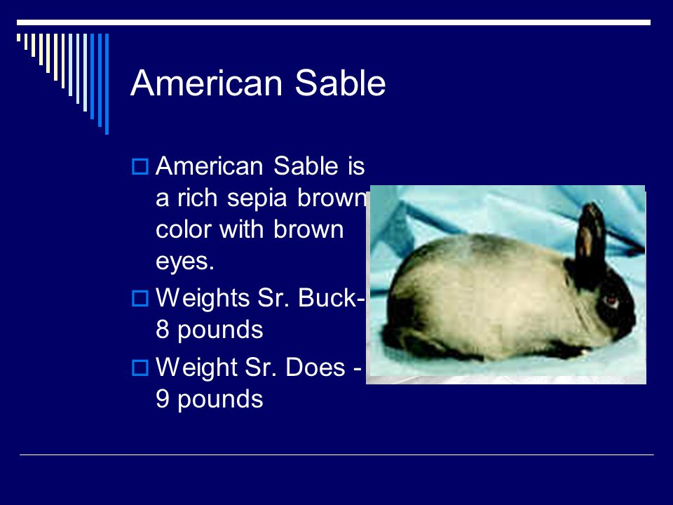 American Sable American Sable is a rich sepia brown color with brown eyes. Weights Sr. Buck-8 pounds.