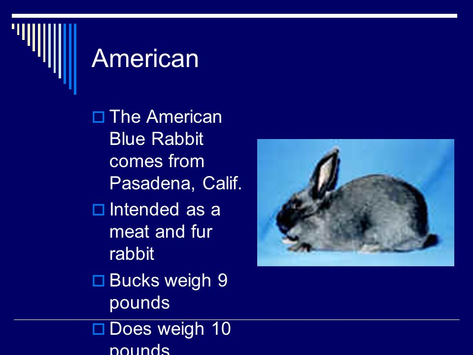 American The American Blue Rabbit comes from Pasadena, Calif.