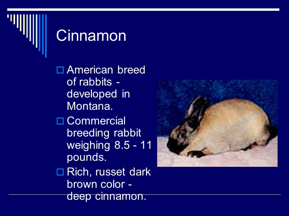 Cinnamon American breed of rabbits - developed in Montana.