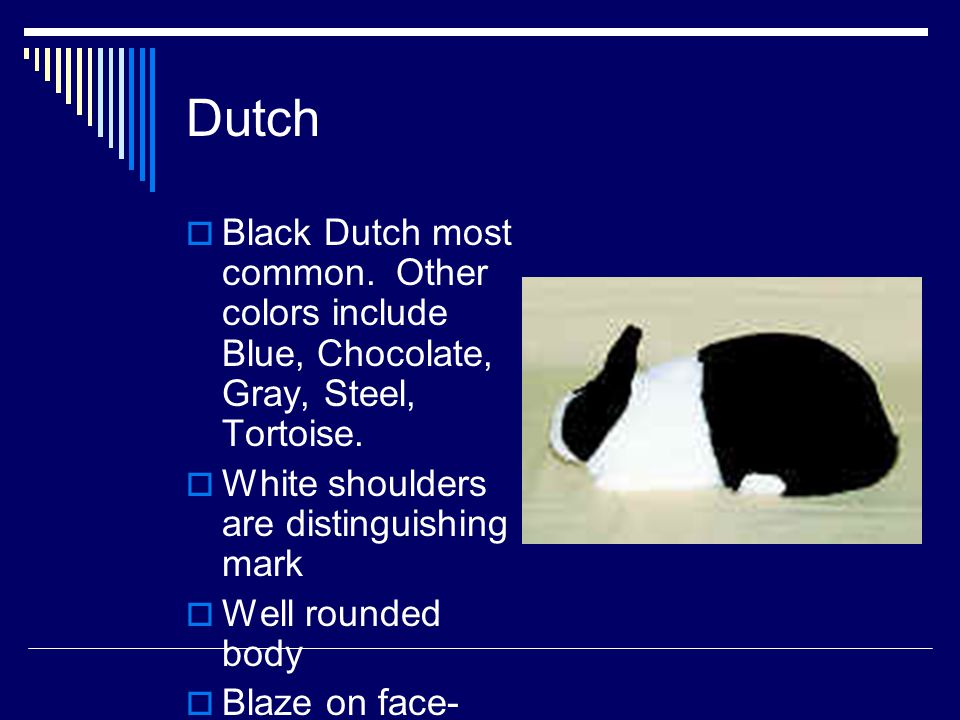 Dutch Black Dutch most common. Other colors include Blue, Chocolate, Gray, Steel, Tortoise. White shoulders are distinguishing mark.