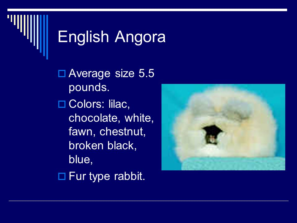 English Angora Average size 5.5 pounds.