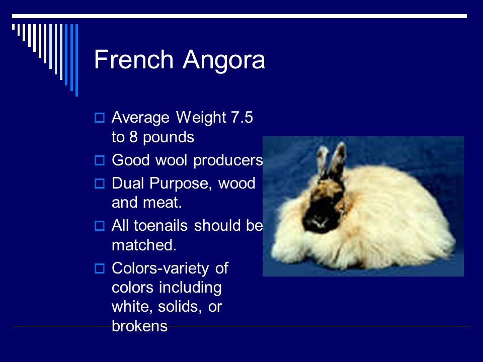 French Angora Average Weight 7.5 to 8 pounds Good wool producers