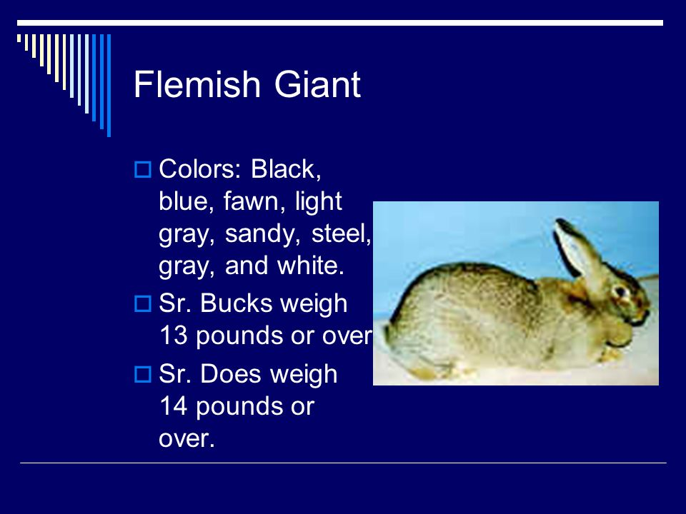 Flemish Giant Colors: Black, blue, fawn, light gray, sandy, steel, gray, and white. Sr. Bucks weigh 13 pounds or over.