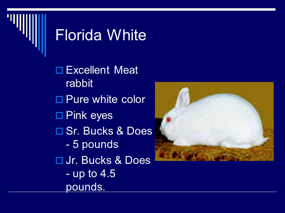 Florida White Excellent Meat rabbit Pure white color Pink eyes