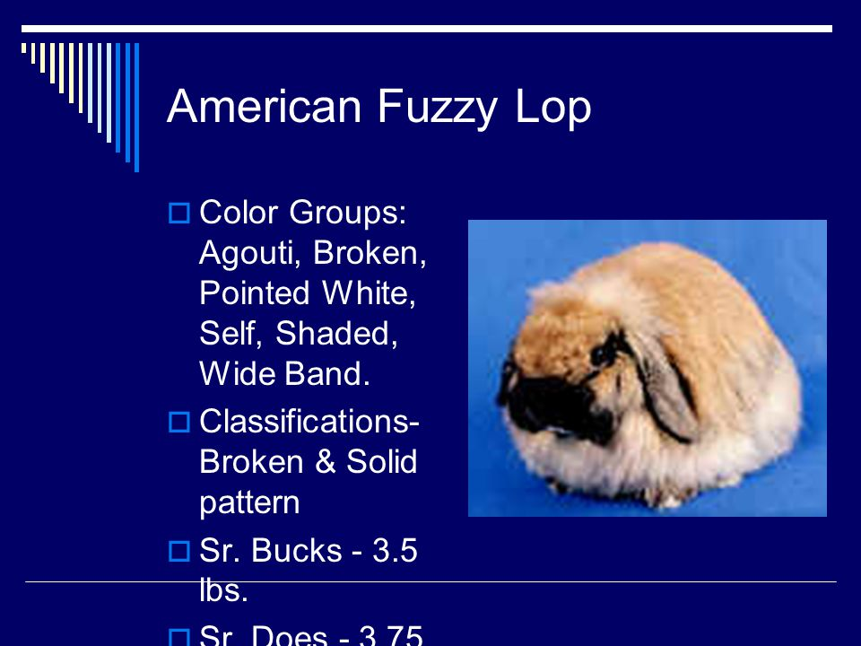 American Fuzzy Lop Color Groups: Agouti, Broken, Pointed White, Self, Shaded, Wide Band. Classifications-Broken & Solid pattern.