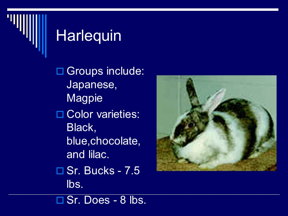 Harlequin Groups include: Japanese, Magpie