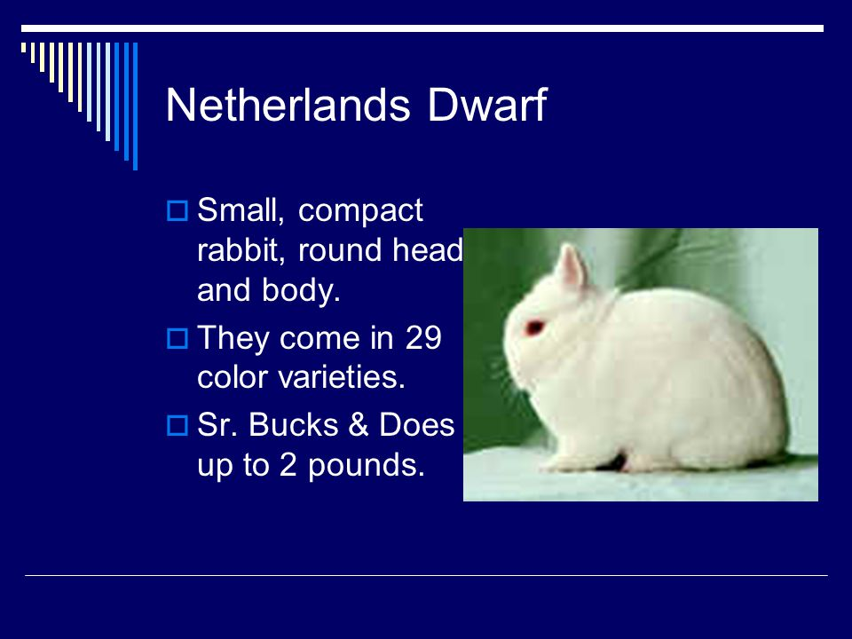 Netherlands Dwarf Small, compact rabbit, round head and body.