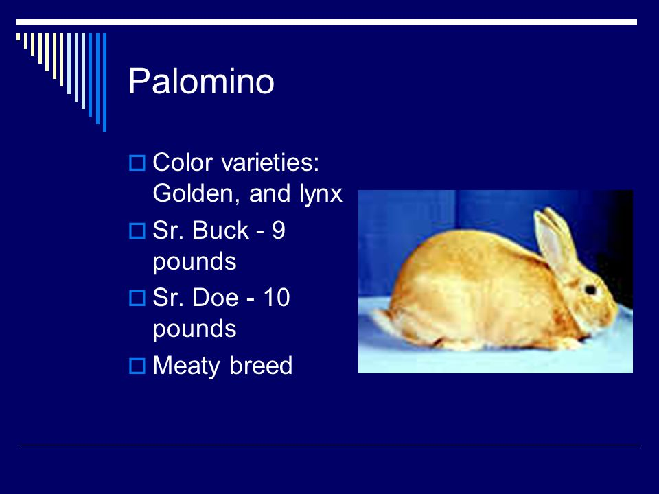Palomino Color varieties: Golden, and lynx Sr. Buck - 9 pounds