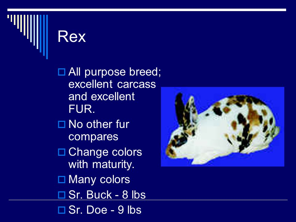 Rex All purpose breed; excellent carcass and excellent FUR.