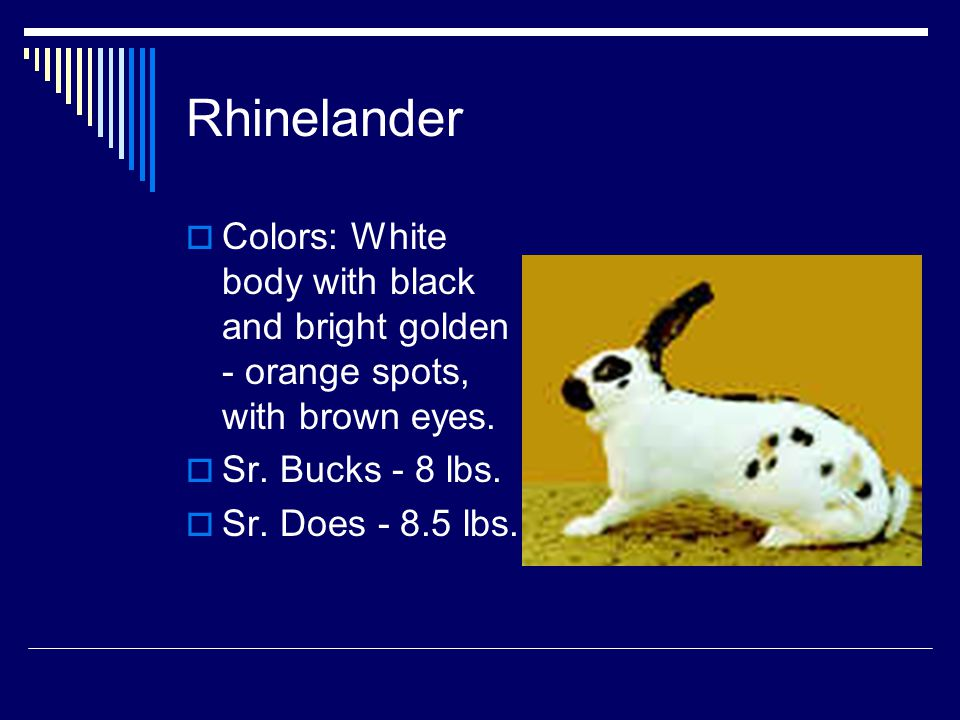 Rhinelander Colors: White body with black and bright golden - orange spots, with brown eyes. Sr. Bucks - 8 lbs.