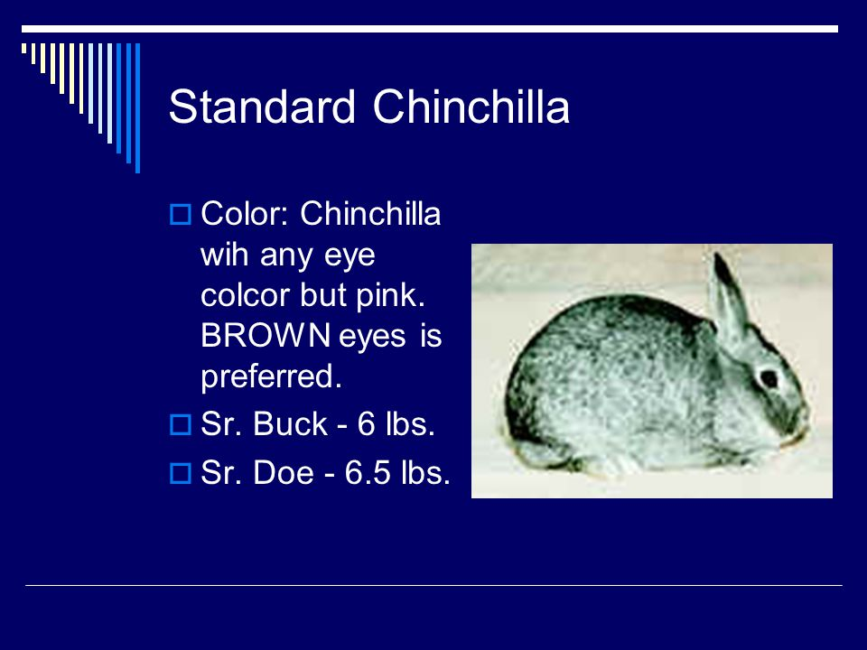 Standard Chinchilla Color: Chinchilla wih any eye colcor but pink. BROWN eyes is preferred. Sr. Buck - 6 lbs.