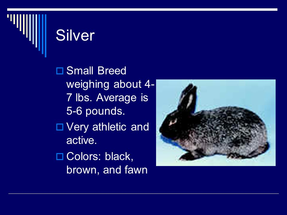 Silver Small Breed weighing about 4-7 lbs. Average is 5-6 pounds.