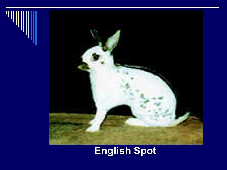 English Spot