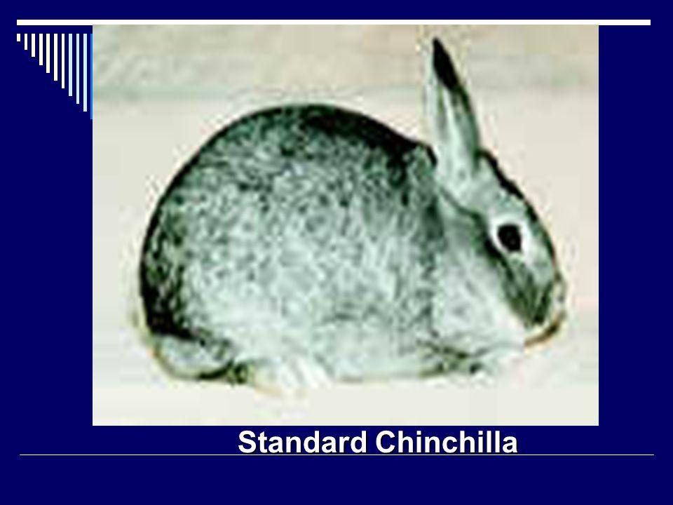 Standard Chinchilla
