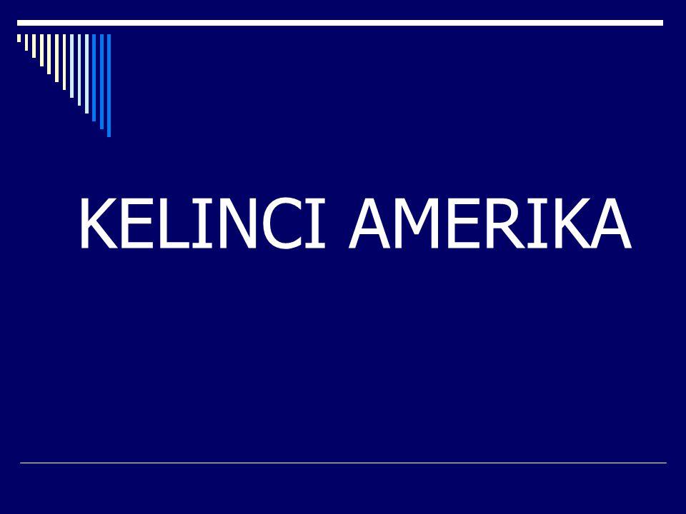 KELINCI AMERIKA