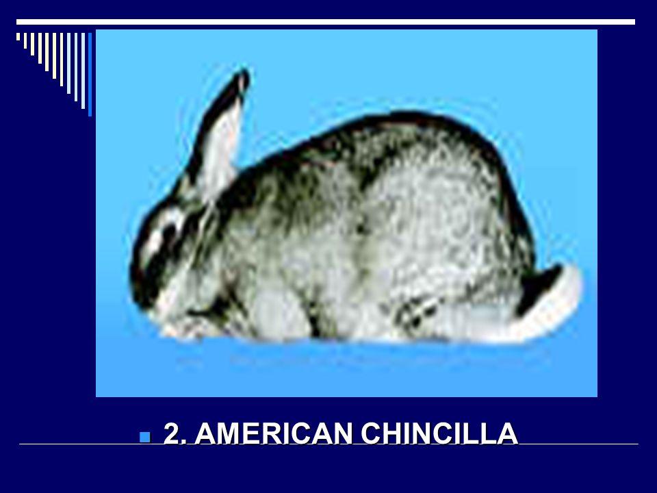 2. AMERICAN CHINCILLA