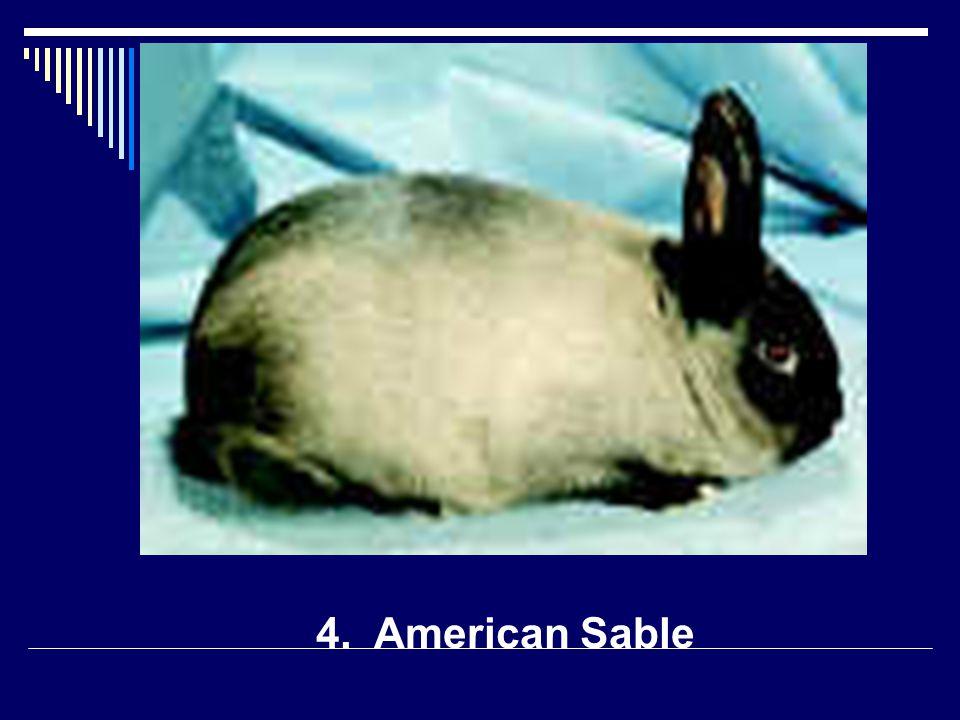 4. American Sable