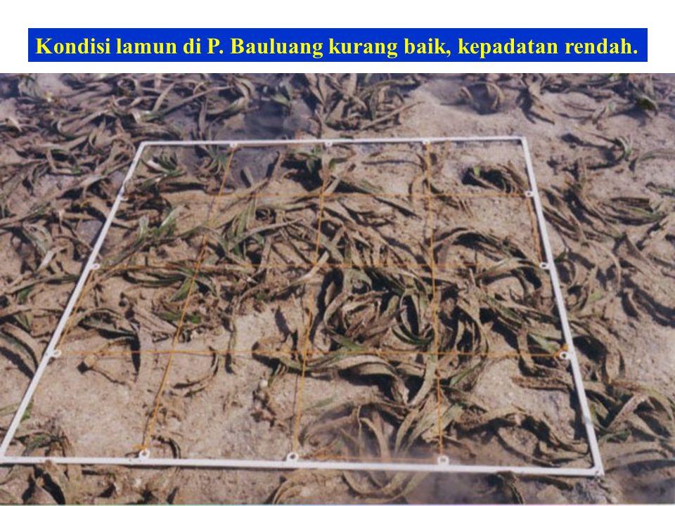 Kondisi lamun di P. Bauluang kurang baik, kepadatan rendah.
