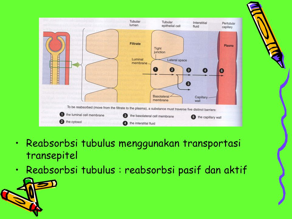 Reabsorbsi tubulus menggunakan transportasi transepitel