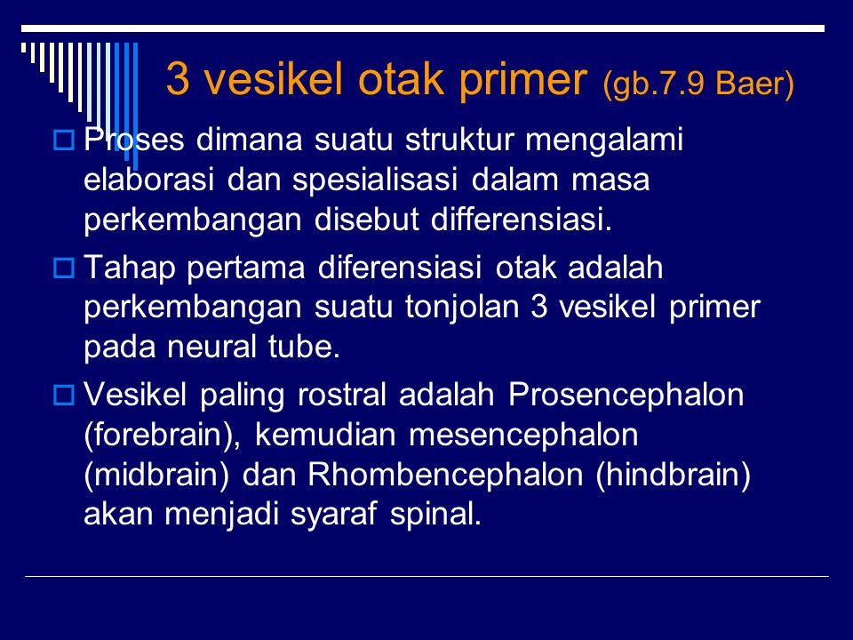 3 vesikel otak primer (gb.7.9 Baer)