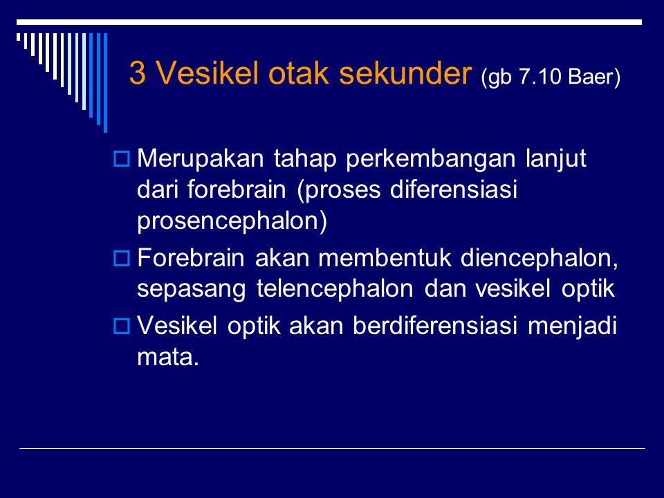 3 Vesikel otak sekunder (gb 7.10 Baer)