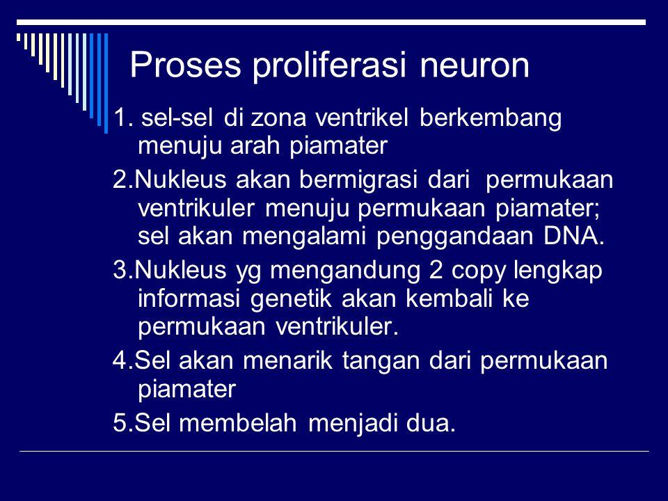 Proses proliferasi neuron