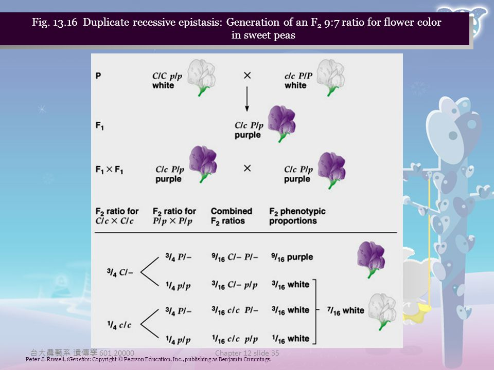 Fig Duplicate recessive epistasis: Generation of an F2 9:7 ratio for flower color in sweet peas