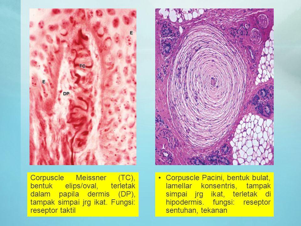 Corpuscle Meissner (TC), bentuk elips/oval, terletak dalam papila dermis (DP), tampak simpai jrg ikat. Fungsi: reseptor taktil