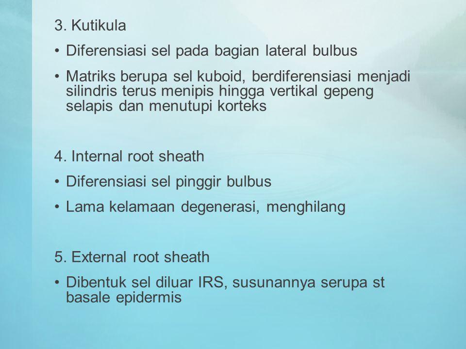 3. Kutikula Diferensiasi sel pada bagian lateral bulbus.