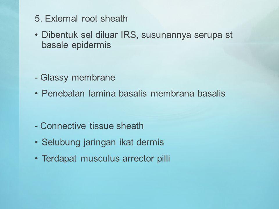 5. External root sheath Dibentuk sel diluar IRS, susunannya serupa st basale epidermis. - Glassy membrane.