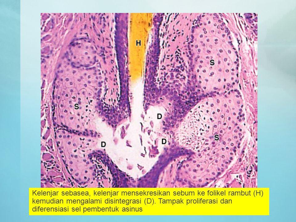 Kelenjar sebasea, kelenjar mensekresikan sebum ke folikel rambut (H) kemudian mengalami disintegrasi (D).
