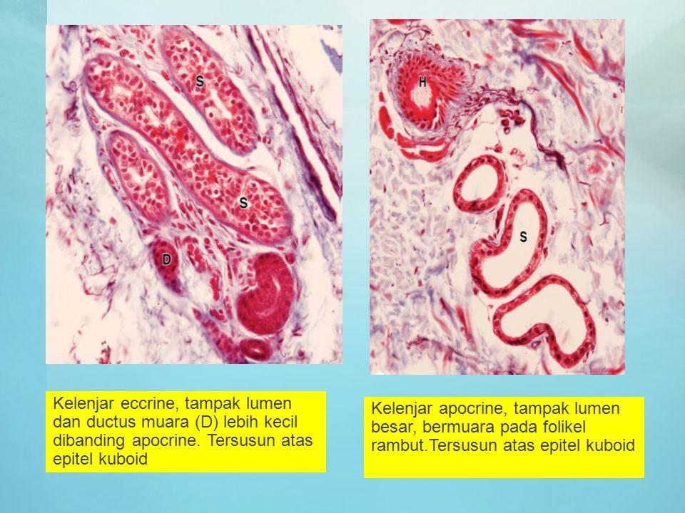 Kelenjar eccrine, tampak lumen dan ductus muara (D) lebih kecil dibanding apocrine. Tersusun atas epitel kuboid